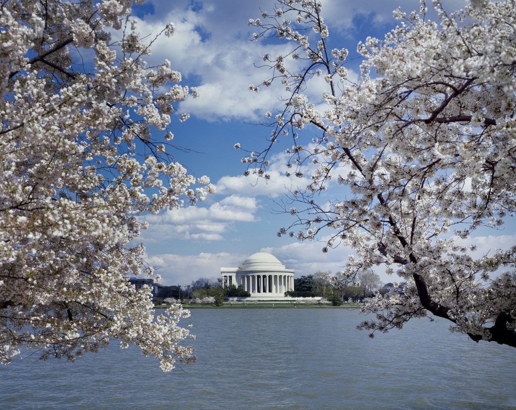 cherry blossoms in spring in metro dc